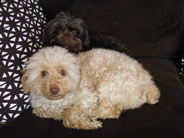 The poodles looking adorable. Max is the apricot-colored dog and Layla is the chocolate poodle.